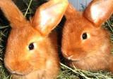 Новозеландские кролики